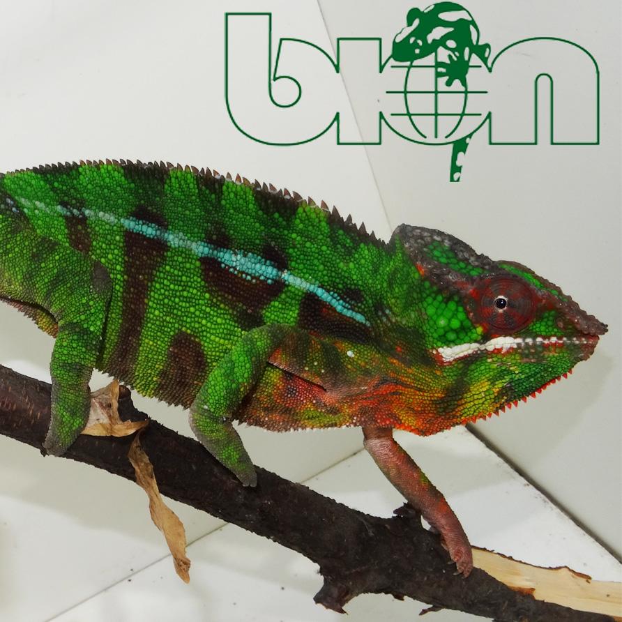 Panther chameleon – Furcifer pardalis Vohemar