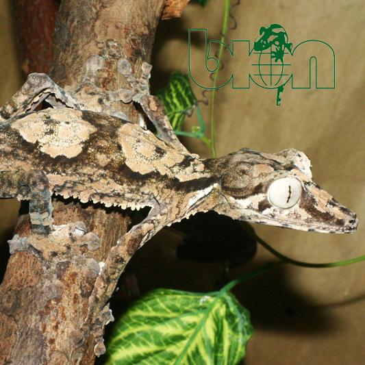 Giant leaf-tailed gecko – Uroplatus giganteus