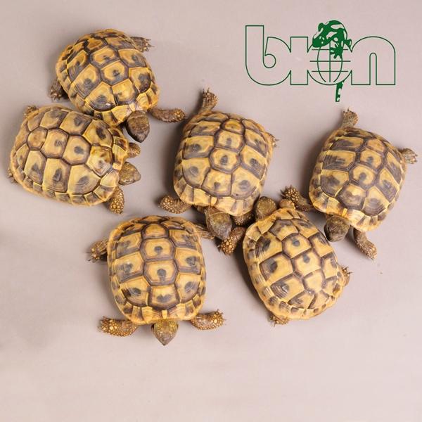Hermann's tortoise – Testudo hermanni