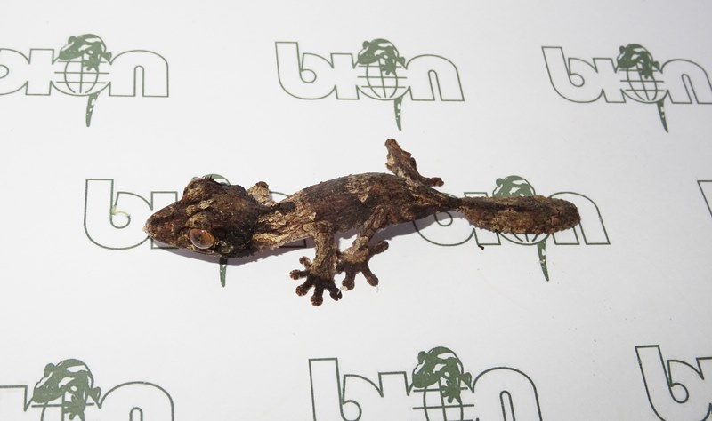 Henkels leaf-tailed geckos for sale