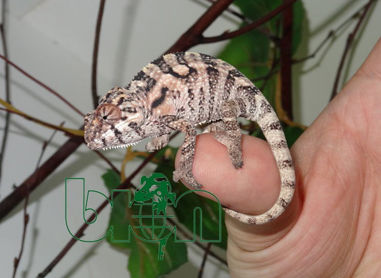 Panther chameleons for sale