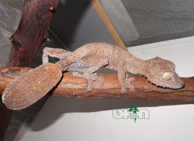 Giant leaf-tail geckos for sale