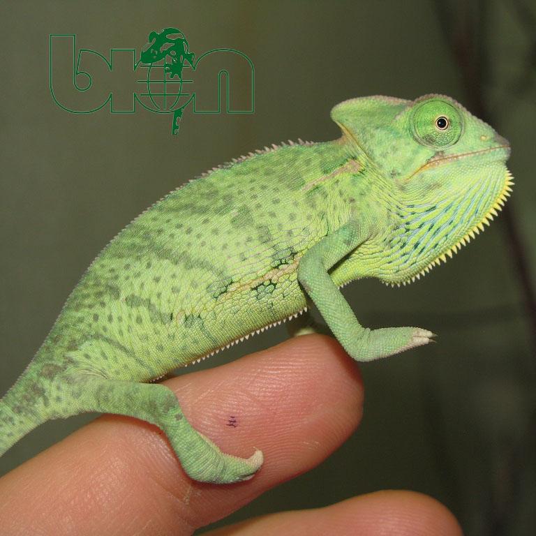 Veiled chameleon – Chamaeleo calyptratus