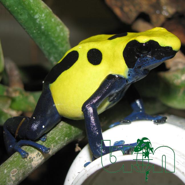 Dart frog – Dendrobates tinctorius CITRONELLA