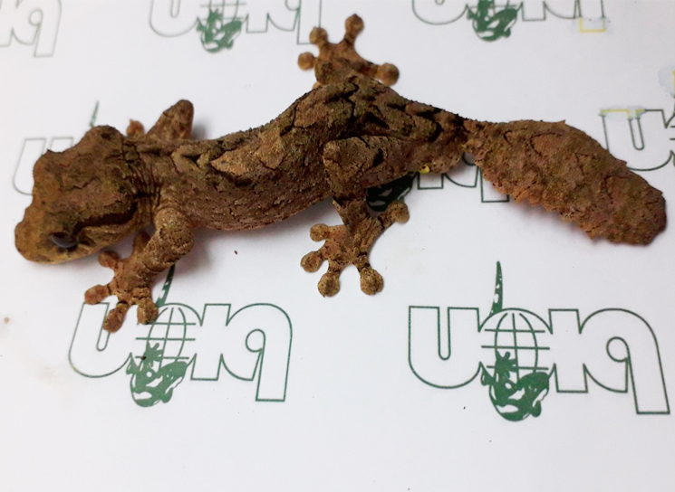 Northern leaf-tailed geckos for sale