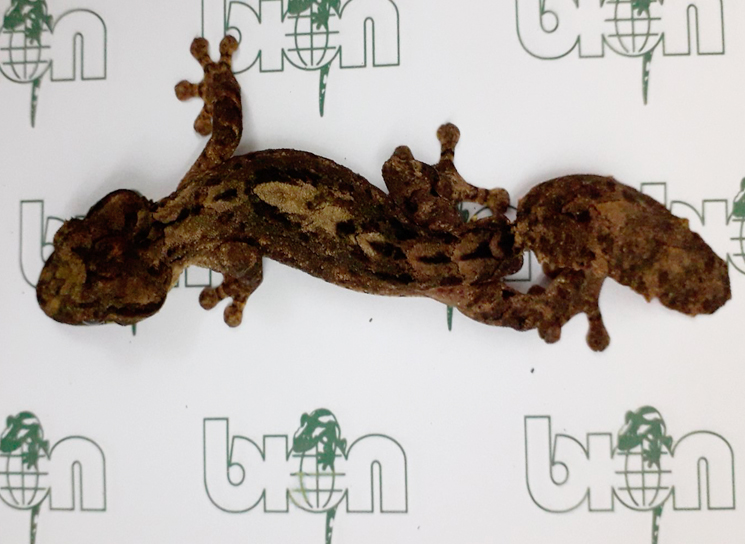 Northern leaf-tail geckos for sale