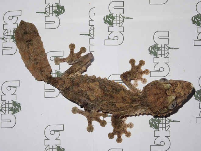 Giant leaf-tailed geckos for sale