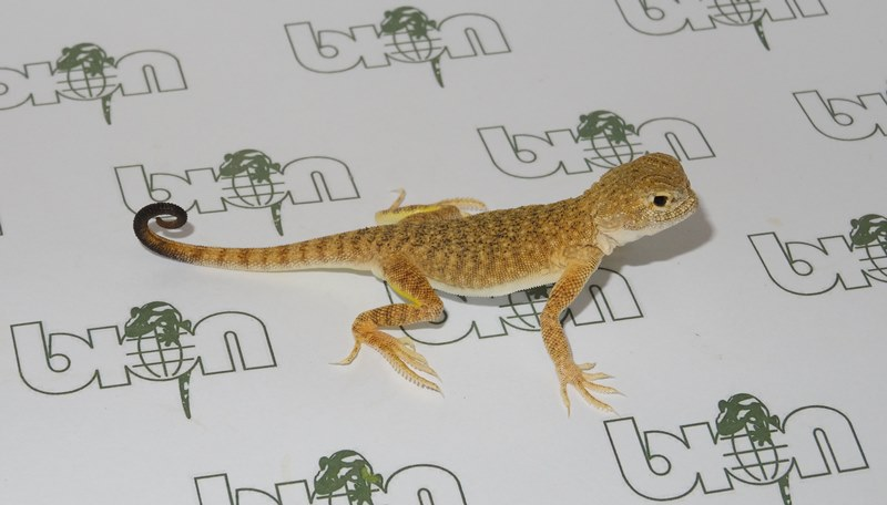 Toad-headed agamas for sale