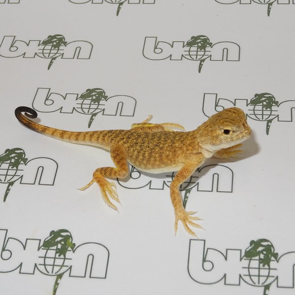 Toad-headed agama – Phrynocephalus mystaceus mystaceus