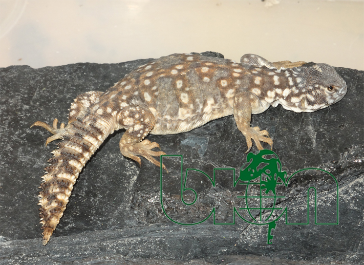 Spiny-tailed lizards for sale