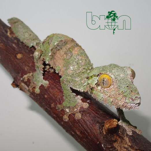 Mossy leaf-tailed gecko – Uroplatus sameiti