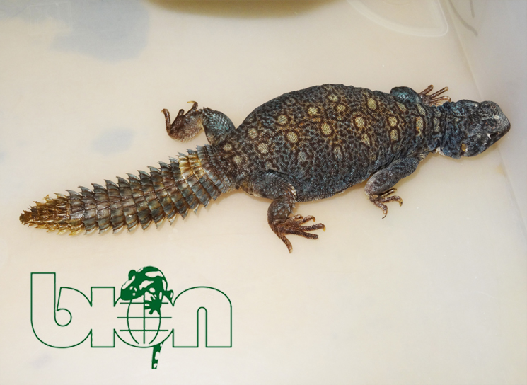 Spiny-tailed lizard for sale