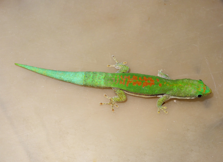 Lined day geckos for sale
