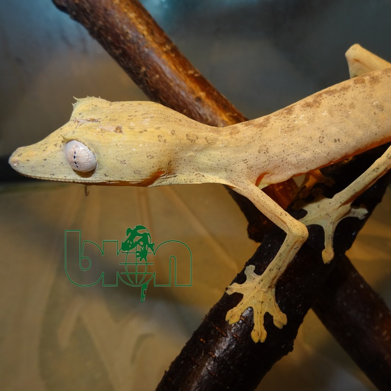 Lined leaf-tailed gecko – Uroplatus lineatus
