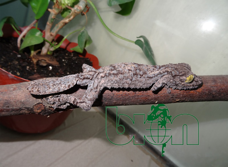 Mossy leaf-tailed geckos for sale