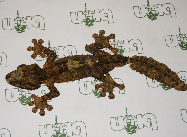 Cork-bark leaf-tailed geckos for sale