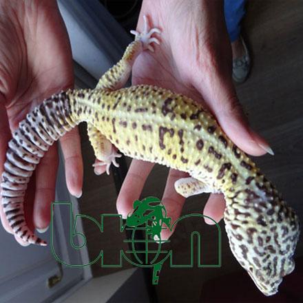 Iranian leopard gecko– Eublepharis angramainyu