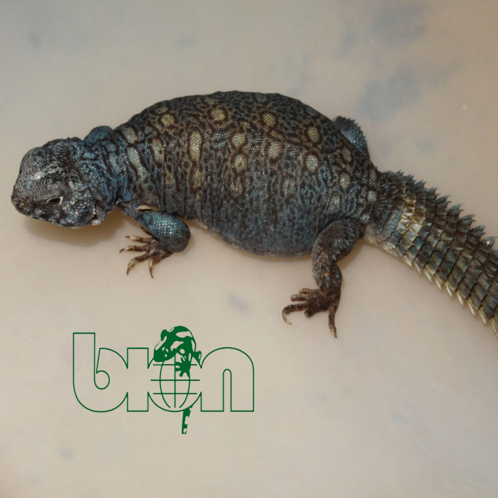 Arabian spiny-tailed lizard – Uromastyx ornata philbyi