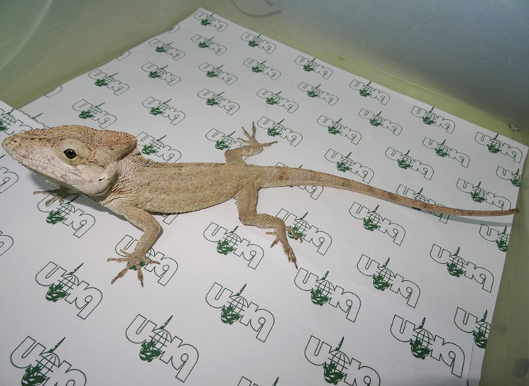 Cuban false chameleons for sale