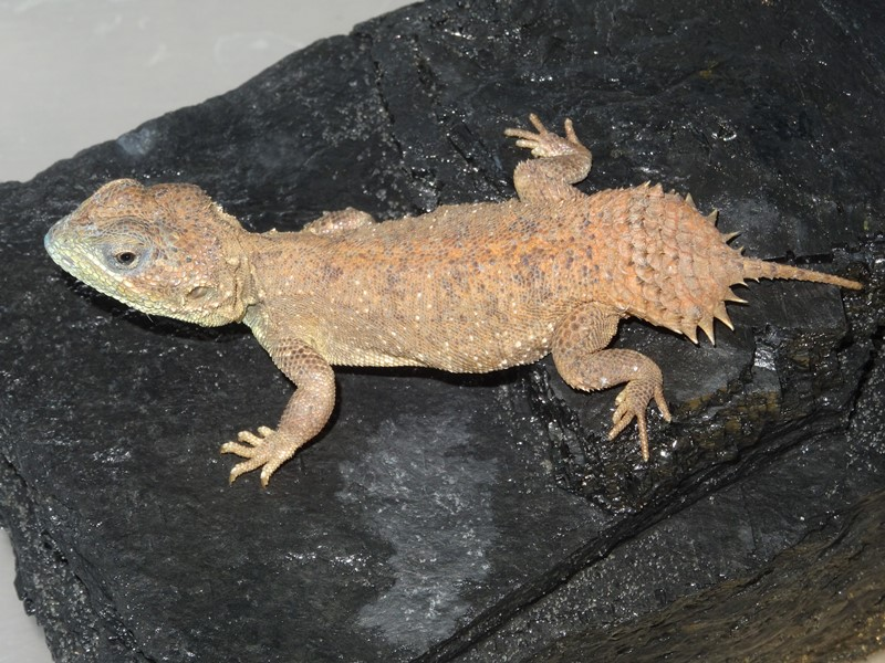 Shield tailed agamas for sale