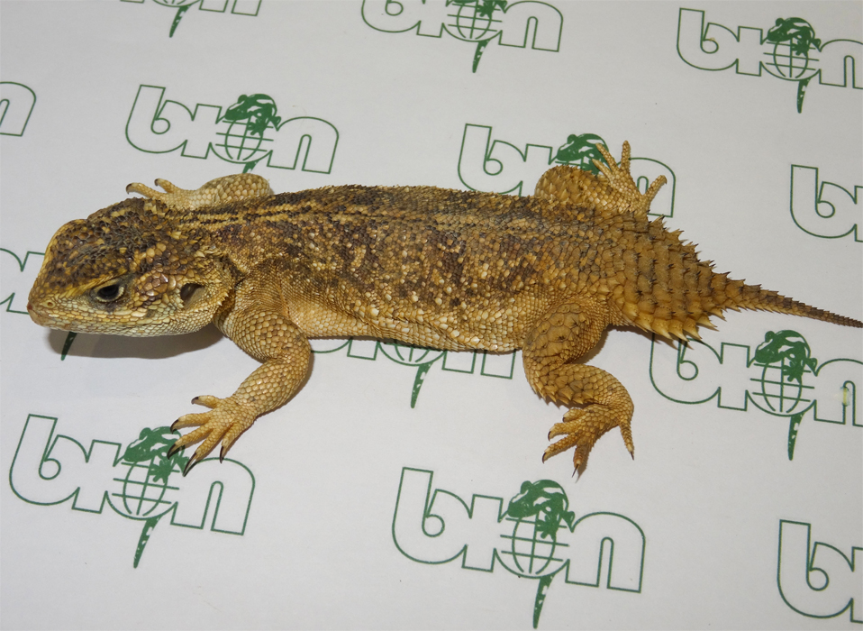 Beaver tailed agamas for sale