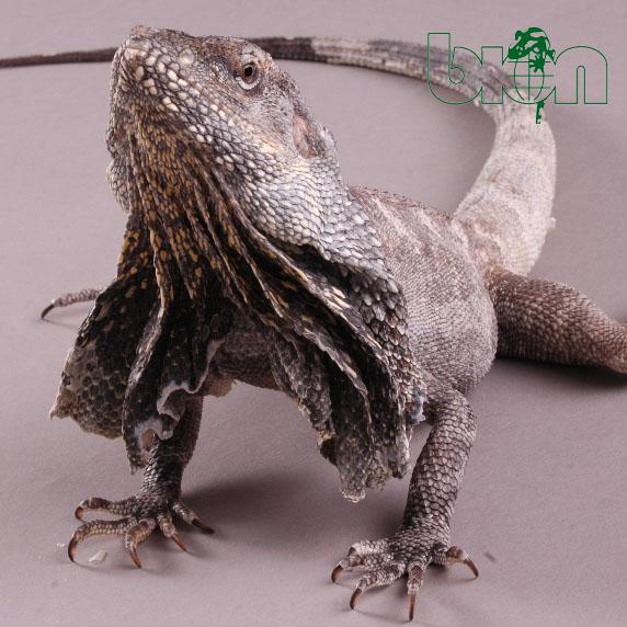 Frilled-necked lizard – Chlamydosaurus kingii