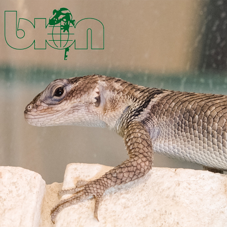 Minor Lizard – Sceloporus minor