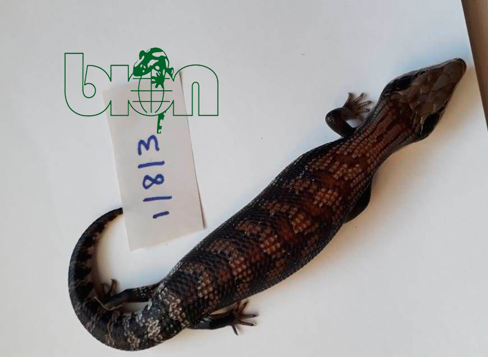 Blue-tongued skinks for sale