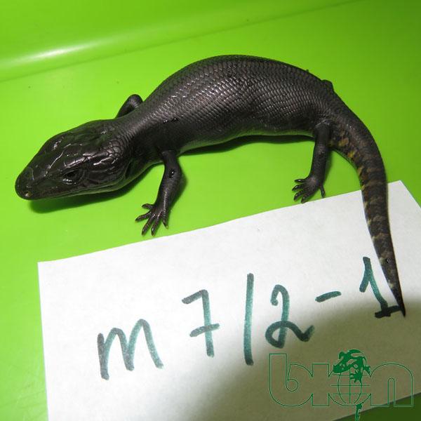 Tiliqua scincoides Melanistic