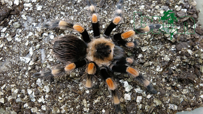 Mexican Giant Orange Knee tarantulas for sale