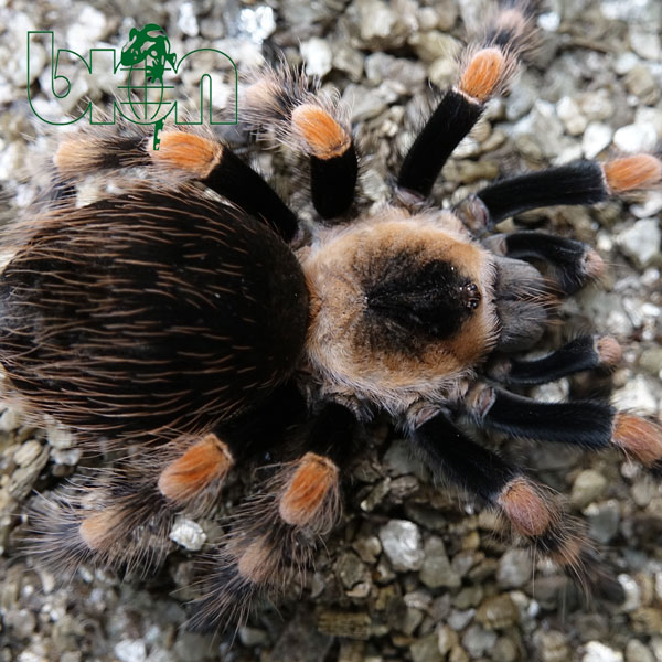 Mexican Giant Orange Knee – Brachypelma annitha