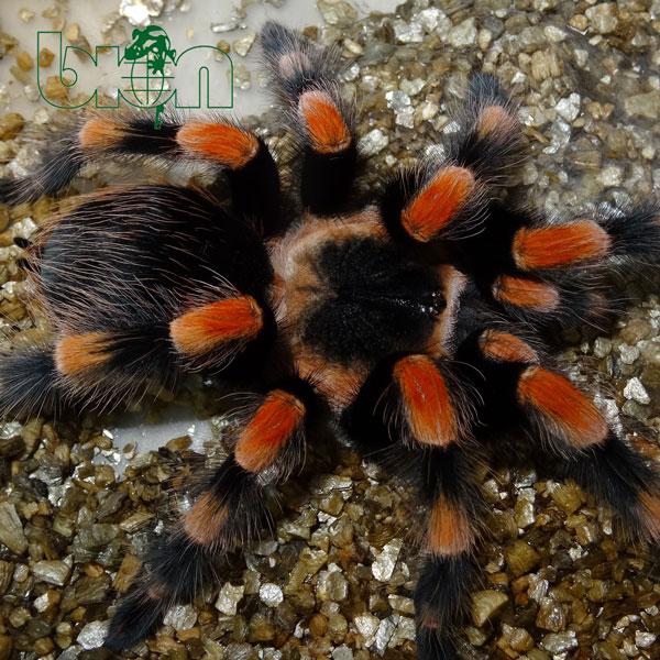 Mexican Redknee Tarantula – Brachypelma smithi