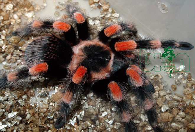 Mexican Redknee Tarantulas for sale