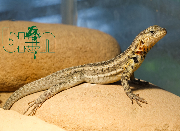 Galapagos lava lizards for sale