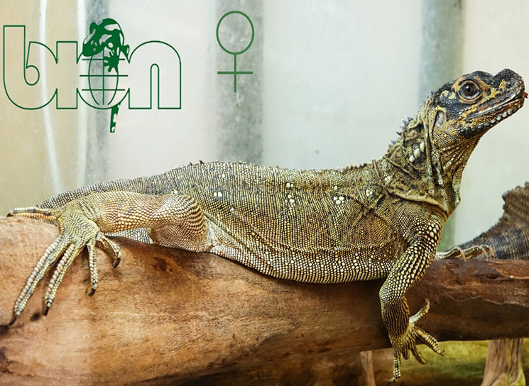 Philippine sailfin dragons for sale