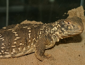 Iraqi Mastigure (Iraqi Spiny-tailed lizard)