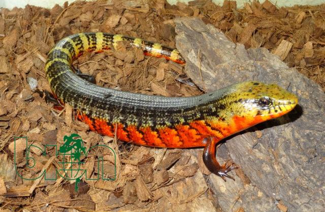 Costa Rican rainbow stripe (Diploglossus monotropis)