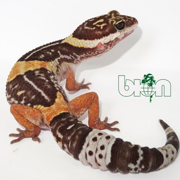 Еast Indian leopard gecko – Eublepharis hardwickii