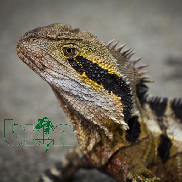 Australian water dragon – Intellagama lesueurii