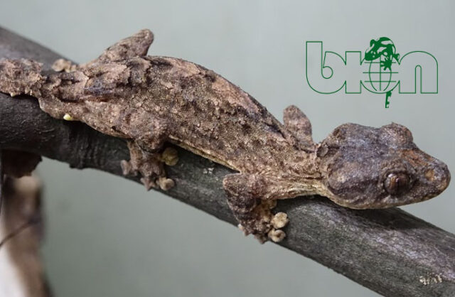 Northern leaf-tailed gecko (Uroplatus alluaudi)