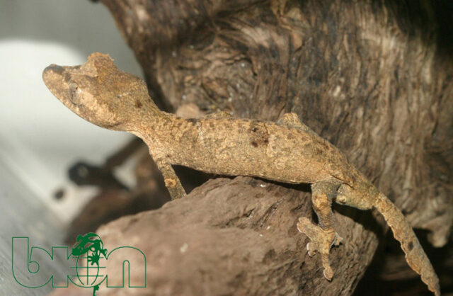 Gunther's leaf-tailed gecko (Uroplatus guentheri)