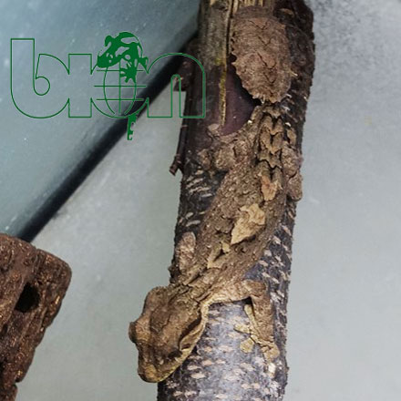 Northern leaf-tailed gecko – Uroplatus alluaudi