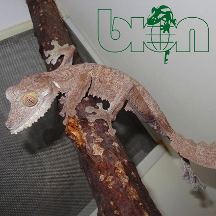 Common leaf-tailed gecko – Uroplatus fimbriatus