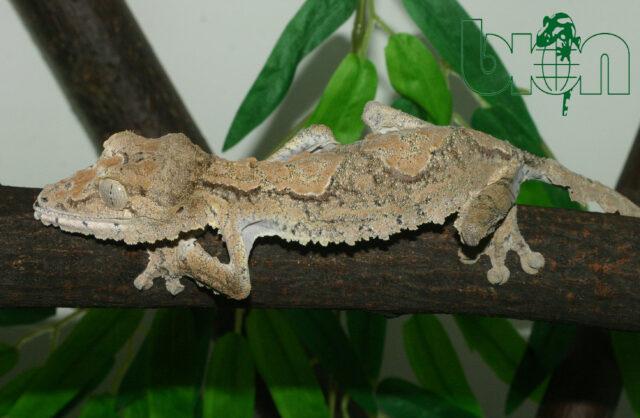 Giant leaf-tailed gecko (Uroplatus giganteus)