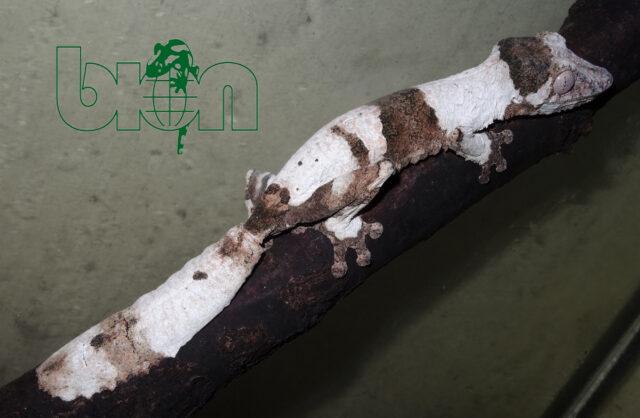 Henkel's leaf-tailed gecko (Uroplatus henkeli)
