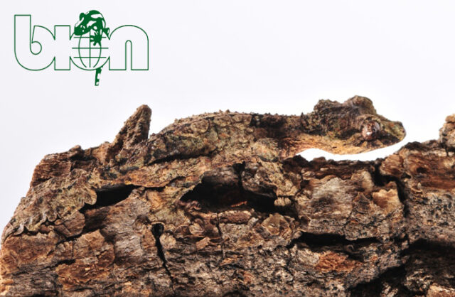 The Cork-bark leaf-tailed gecko (Uroplatus pietschmanni)