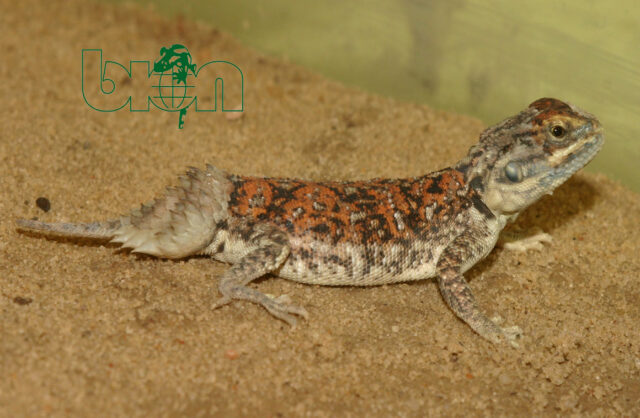 Shield-tailed agama (Хеnаgаmа taylori) care sheet