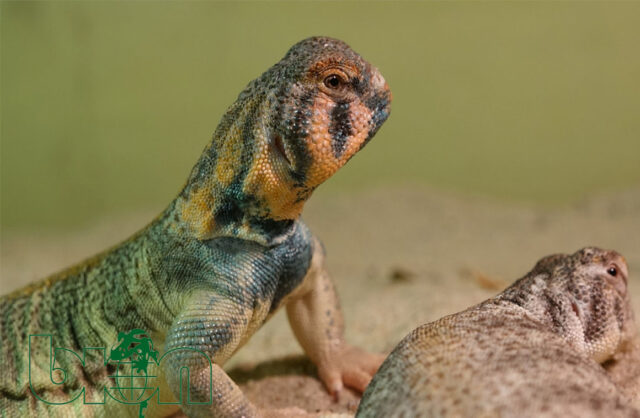 Omani Spiny-tailed lizard (Uromastyx thomasi)