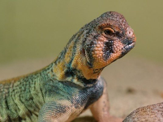 Omani Spiny-tailed Lizard (Uromastyx thomasi)Omani Spiny-tailed Lizard (Uromastyx thomasi)