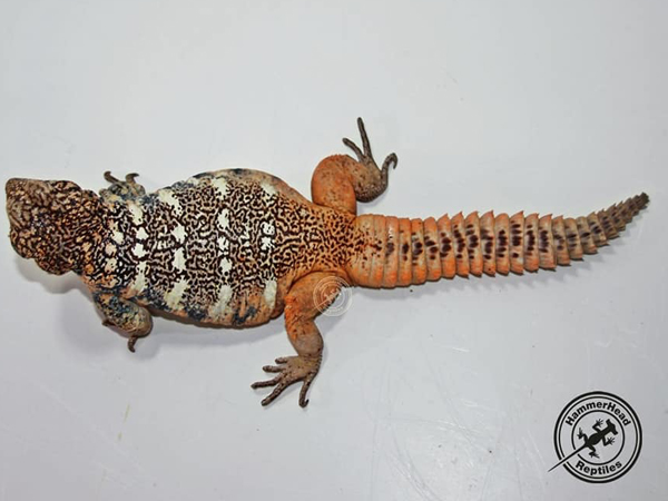South Arabian spiny-tailed lizard